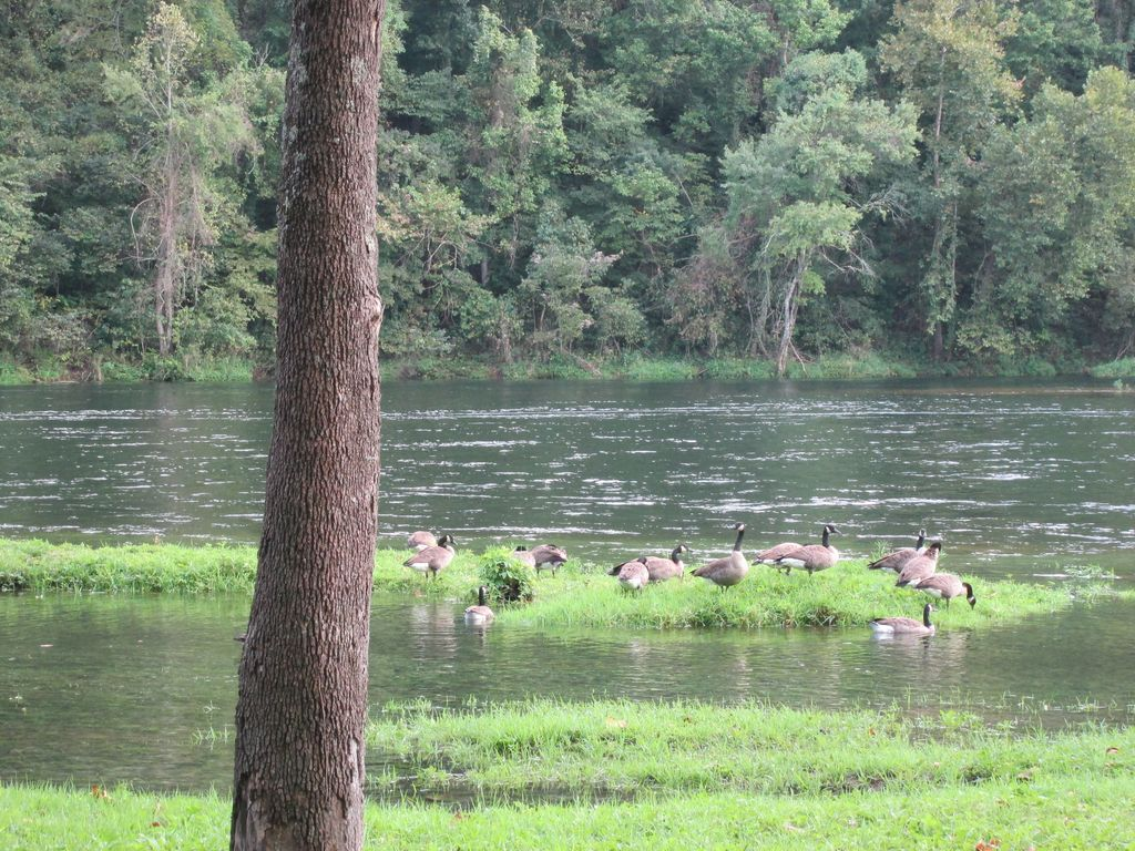 Geese along the banks of Lake Taneycomo. Fly fishing. Trophy area by resort.
