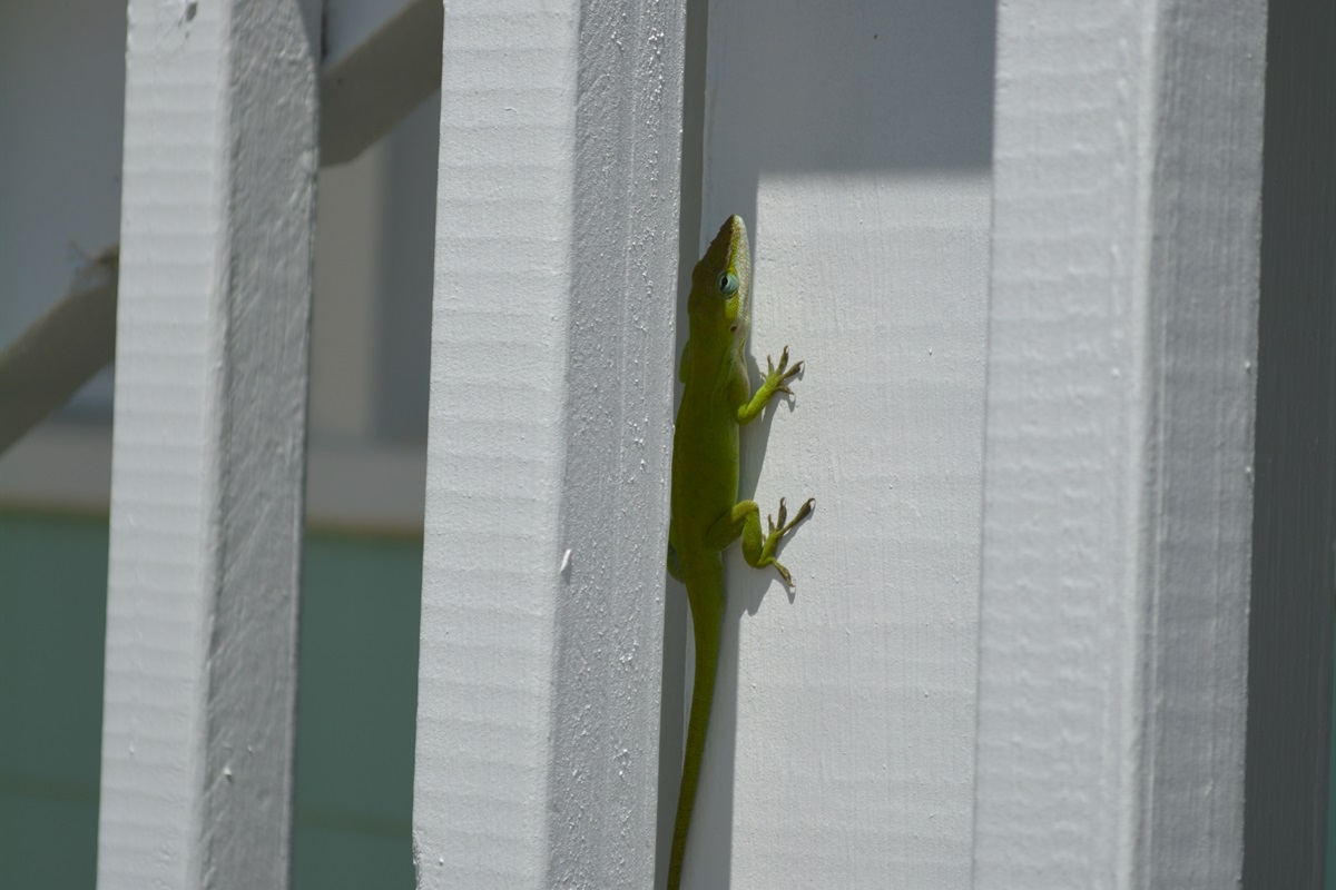 Native Lizards