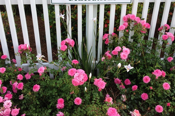 Roses along Fence in Front of Cottage