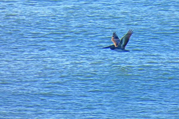 Meet Stanley the pelican